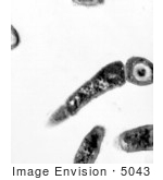 #5043 Stock Photography Of A Transmission Electron Micrographic Image Of Bacillus Anthracis