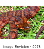 #5078 Stock Photography Of A Cottonmouth/Water Moccasin Snake (Agkistrodon Piscivorus)