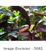 #5083 Stock Photography Of A Florida Cottonmouth Snake (A P Conanti)