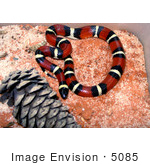 #5085 Stock Photography Of A Milk Snake