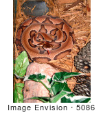 #5086 Stock Photography Of A Southern Copperhead