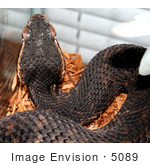 #5089 Stock Photography Of A Florida Cottonmouth Snake