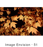 #51 Picture Of Autumn Colored Maple Tree Leaves