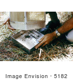 #5182 Stock Photography Of Researcher Removing A Mosquito-Filled Tray From A Horse Stable Mosquito Trap