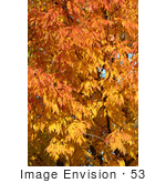 #53 Photography Of A Deciduous Tree With Fall Colors