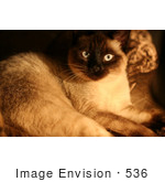 #536 Picture Of A Blue Eyed Oriental Siamese Cat