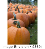 #53691 Royalty-Free Stock Photo Of Pumpkins In Field 3