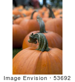 #53692 Royalty-Free Stock Photo Of Pumpkins In Field 5
