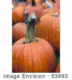 #53693 Royalty-Free Stock Photo Of Pumpkins In Field 4