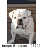 #53705 Royalty-Free Stock Photo Of Bulldog