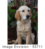#53711 Royalty-Free Stock Photo Of A Sitting Patient Golden Retriever