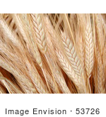 #53726 Royalty-Free Stock Photo Of A Closeup Of Wheat