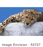 #53727 Royalty-Free Stock Photo Of A Cheetah