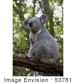 #53781 Royalty-Free Stock Photo Of A Koala 4