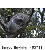 #53788 Royalty-Free Stock Photo Of A Koala 4