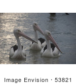 #53821 Royalty-Free Stock Photo Of A Group Of Pelicans