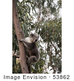#53862 Royalty-Free Stock Photo Of A Koala Wild