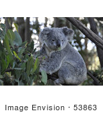 #53863 Royalty-Free Stock Photo Of A Koala 3