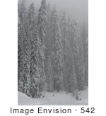 #542 Winter Picture Of Evergreen Pine Trees Covered With Snow