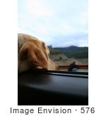 #576 Photograph Of A Yellow Lab Dog Sticking His Head Out A Car Window