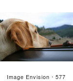 #577 Photo Of A Yellow Lab Dog Sticking His Head Out A Car Window