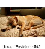 #592 Photograph Of A Yellow Lab Dog Sleeping On A Couch