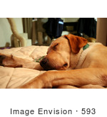 #593 Image Of A Yellow Labrador Dog Sleeping On A Couch