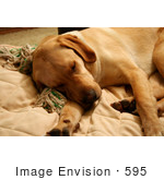 #595 Picture Of A Yellow Lab Dog Sleeping On A Couch