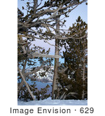 #629 Photograph Of Trees Along The Rim Of Crater Lake Oregon