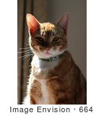 #664 Picture of an Orange Calico Cat in the Sun by Kenny Adams