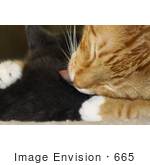 #665 Picture Of A Cat Grooming A Kitten