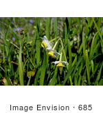 #685 Photograph of Wild Daffodils by Jamie Voetsch