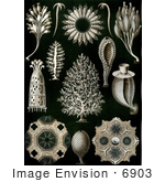 #6903 Calcareous Sponges (Calcispongiae)