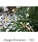 #743 Photo of Daffodils in Snow by Jamie Voetsch