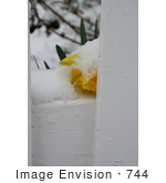 #744 Photo of a Yellow Daffodil, Resting on a Fence, Covered in Snow by Jamie Voetsch