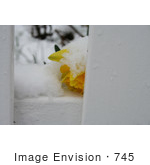 #745 Image of a Yellow Daffodil in the Snow by Jamie Voetsch