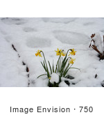 #750 Image of Daffodils in Snow, Jacksonville, Oregon by Jamie Voetsch