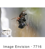 #7716 Picture of a Sowbug Killer Spider Killing a Black Widow by Jamie Voetsch