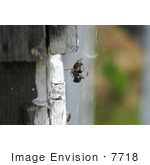 #7718 Picture of a Woodlouse Spider Killing a Black Widow by Jamie Voetsch