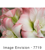#7719 Image of Amaryllis Aphrodite Flower by Jamie Voetsch