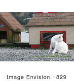 #829 Photography Of A White Feral Cat Biting At Fleas