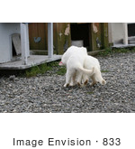 #833 Photography Of A Frisky White Feral Cats Playing
