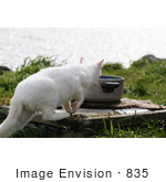 #835 Photography Of A White Feral Cat Walking Towards A Water Dish