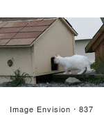 #837 Photography Of A Feral Cat Looking In The Hole Of A Cat House