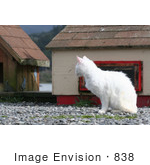#838 Photography Of A Feral White Cat Watching And Observing