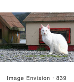#839 Photo Of A Feral White Cat Looking At The Camera