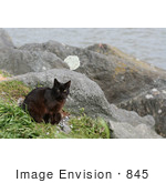 #845 Photography Of Brownish Black Feral Cat At An Ocean Jetty