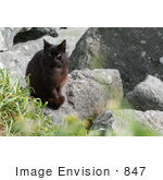 #847 Photography Of A Feral Brownish Black Cat At The Oregon Coast