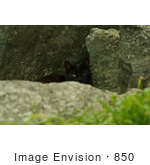 #850 Photo Of A Black Feral Cat Hiding Behind A Rock