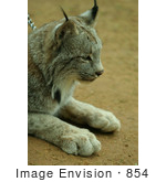 #854 Photograph of a Canadian Lynx on a Chain Leash by Kenny Adams